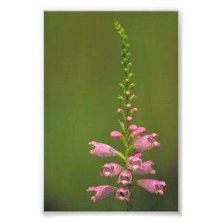 Flor falsa rosada de Dragonhead Arte Fotografico