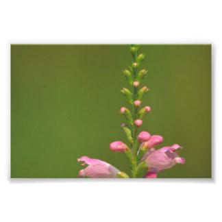 Flor falsa rosada de Dragonhead Cojinete