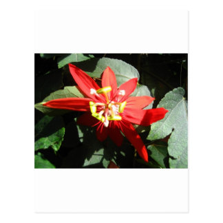 flor, flor roja de la pasión postal