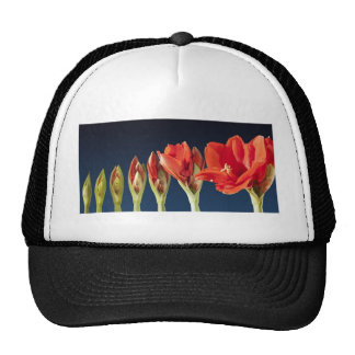 Flor floreciente del Amaryllis Gorras