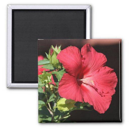 Flor floreciente roja grande del hibisco imán cuadrado