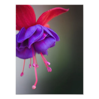 Flor fucsia púrpura y roja cojinete