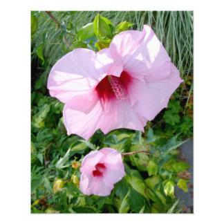 Flor gigante comestible del hibisco fotografías