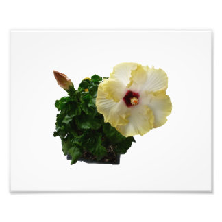 Flor grande del hibisco con follaje impresion fotografica