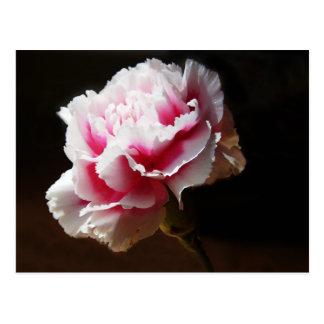 Flor hermosa del clavel de los rosas bebés postal