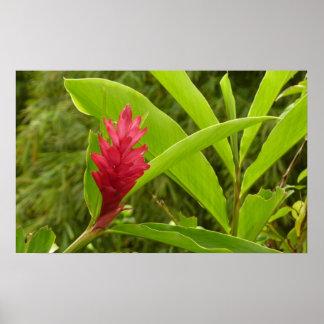 Flor I del jengibre rojo Póster