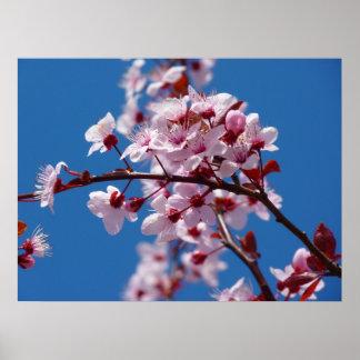 Flor japonés del cerezo impresiones