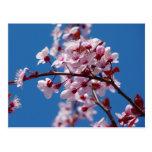 Flor japonés del cerezo tarjetas postales