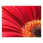 Flor macra roja de la margarita del Gerbera Arte Fotografico