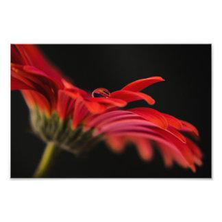 Flor macra roja del Gerbera Cojinete