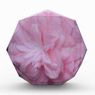 Flor macra rosada de Camelia