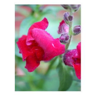 Flor magenta rosada oscura de Snapdragon Postal