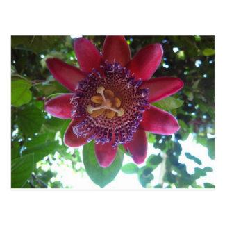 flor, passionflower púrpura postal