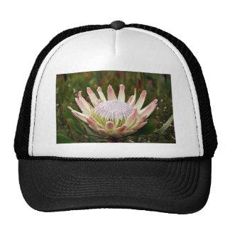 Flor poner crema del Protea en la floración Gorras