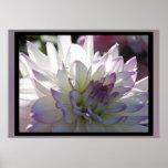 Flor Púrpura-Blanca de la dalia Póster