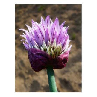 Flor púrpura de la cebolleta en la floración postales