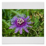 flor púrpura de la pasión poster