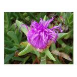 Flor púrpura de la planta de hielo postal