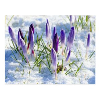 Flor púrpura del azafrán de la tarjeta en nieve tarjetas postales