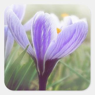 Flor púrpura del azafrán colcomanias cuadradases