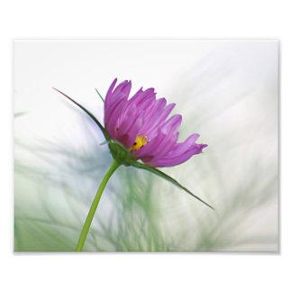 Flor púrpura del cosmos fotografía