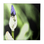 Flor púrpura del iris azulejo ceramica