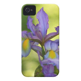 Flor púrpura del iris iPhone 4 cárcasas