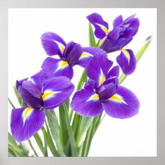 flor púrpura del iris póster