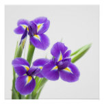 flor púrpura del iris posters