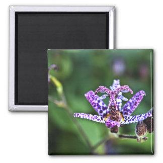 Flor púrpura del lirio de sapo de Tricyrtis Imán