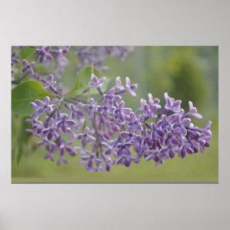 flor púrpura del poster de la lavanda del lavander