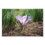 Flor púrpura rosada de Vernus del azafrán Fotografia