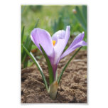 Flor púrpura rosada de Vernus del azafrán Arte Fotográfico