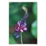 Flor púrpura rosada en el florecimiento de Kudzu Fotografía