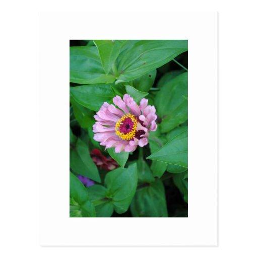 Flor púrpura tarjetas postales