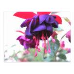 Flor, púrpura y rosas fuertes de Fuschia Tarjeta Postal