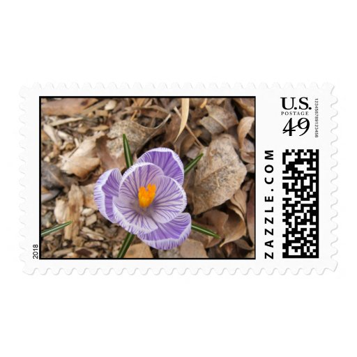 Flor rayada púrpura del azafrán envio