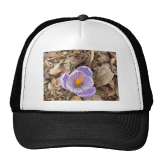 Flor rayada púrpura del azafrán gorra