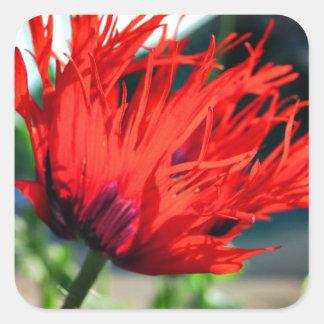 Flor roja brillante de la amapola calcomanías cuadradases