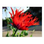 Flor roja brillante de la amapola tarjetas postales