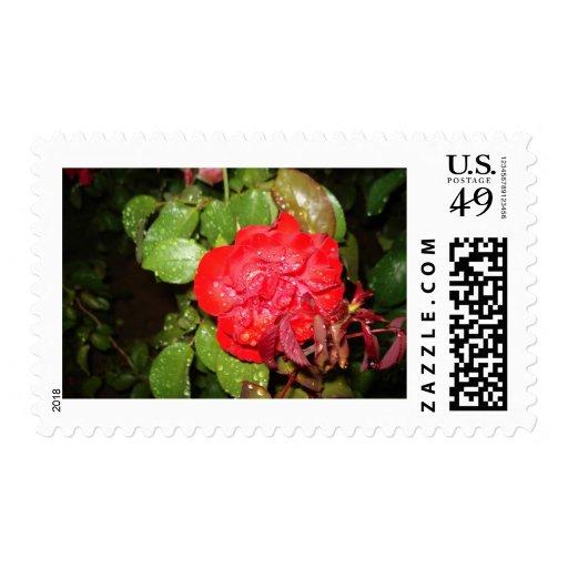 Flor roja con las gotas de agua