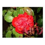 Flor roja con las gotas de agua tarjeta postal