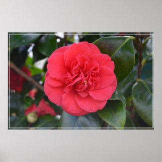 Flor roja de Camelia Poster