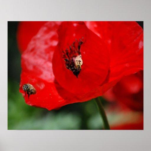 Flor roja de la amapola - abeja - poster