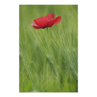 Flor roja de la amapola entre la cosecha del trigo arte fotografico