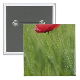 Flor roja de la amapola entre la cosecha del trigo pin