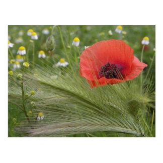 Flor roja de la amapola, Toscana, Italia Postal