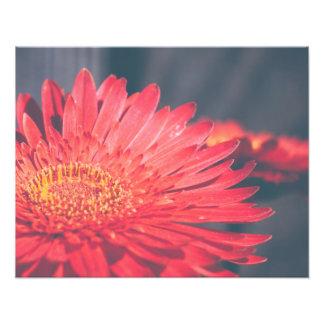 Flor roja de la margarita del Gerbera Fotografias