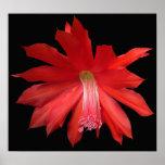 Flor roja del cactus posters