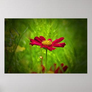 Flor roja del cosmos póster